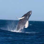 Restraining Order Names Humpback Whale (Maui Now)