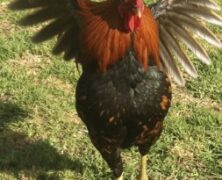Plans Foiled for Band of Mischief-Making Chickens (Maui Now)