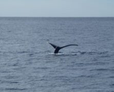 Whales Outraged Over Spoiled Surprise (Maui Now)